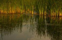 Cattails al tramonto Fotografie Stock