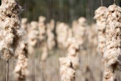 Cattails allant semer Photos libres de droits
