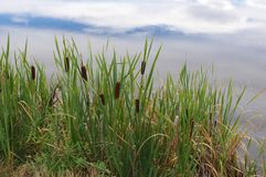 Cattails ao longo de uma lagoa imagens de stock