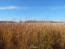 Cattails au delà de l'au bord du lac Images libres de droits