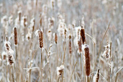 Cattails backdrop. Neutral background of dried cattails in winter stock photo