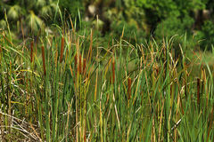 Cattails Background Stock Photography