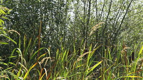 Cattails Blowing in the Breeze Outside. Wild cattails or bullrush plants and tall grass outdoors on a sunny, slightly windy summer day in a private wooded area stock video