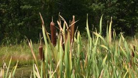 Cattails blowing in the wind stock video