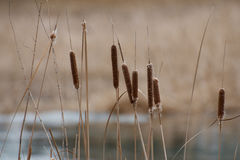 Cattails closeup in the spring. Next to Sturgeon Creek, Winnipeg, Manitoba, Canada Royalty Free Stock Photos