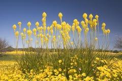 Cattails com um tapete de flores selvagens em Namaqualand Fotografia de Stock