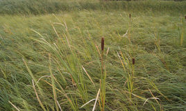 Cattails are Coming. Sedge meadows and other wetlands are under threat from invasive cattail species.  This meadow has native Broad-leaved cattail (Typha Royalty Free Stock Photography