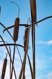 Cattails contra el cielo azul fotos de archivo
