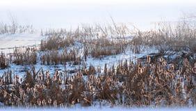 Cattails contre éclairés dans la neige images libres de droits