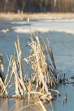 Cattails coperti di ghiaccio Immagini Stock