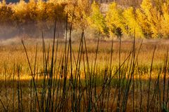 Cattails and Cottonwoods. Dewdrops on cattails, fog in the forest. Horsethief Canyon State Wildlife Area in western Colorado has views, migratory birds, and stock image