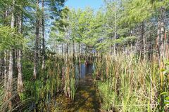 Cattails and cypress trees in Everglades National Park. Cattails and cypress trees thriving at a culvert in Everglades National Park, Florida royalty free stock image