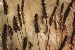 Cattails délabrés Photographie stock