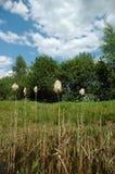 Cattails dans le marais Image stock