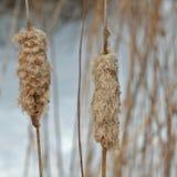 Cattails de l'hiver. Photographie stock