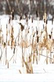 Cattails in de sneeuw Status lang in de de wintersneeuw royalty-vrije stock afbeeldingen