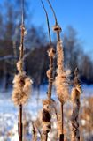 Cattails in de winter Royalty-vrije Stock Afbeeldingen
