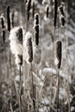 Cattails in de winter Stock Afbeelding