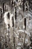 Cattails in de winter Stock Afbeelding