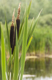 Cattails in de Zomer Royalty-vrije Stock Afbeelding