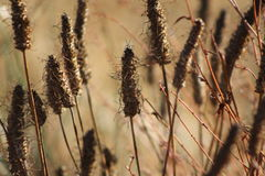 Cattails Decayed Stock Photography