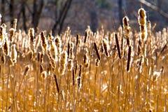 Cattails in der Sonne Stockfotos