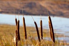 Cattails di Brown Fotografia Stock