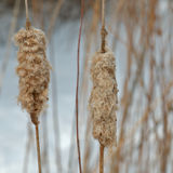 Cattails do inverno. fotografia de stock
