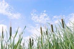 Cattails ed erba alta di verde isolata sulla vista di angolo basso blu isolata sul cielo Fotografie Stock