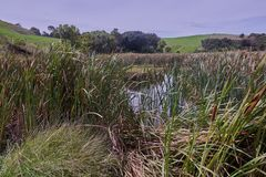 Cattails on the edge of a pond on Motutapu island New Zealand stock image