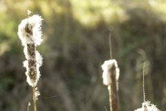 Cattails. Emmiting fluffy white cotton like materials stock image