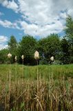 Cattails en el pantano Imagen de archivo