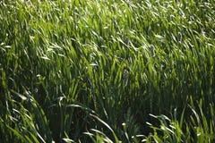 Cattails en grassen. stock fotografie