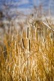 Cattails en invierno fotos de archivo libres de regalías