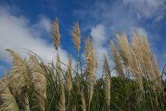 Cattails en Myrtle Beach Fotos de archivo libres de regalías