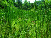Cattails et herbe grands dans les marécages images libres de droits