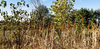 Cattails. Field of wild cattails royalty free stock image