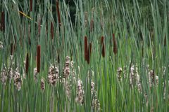 Cattails. Flowering and not flowering  standing in the wild, seeding royalty free stock image