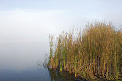 Cattails In The Fog Stock Photography