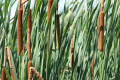 Cattails. Found in the marshland along the bank of a Prince Edward Island River.  are often picked and used for decorations royalty free stock photos