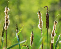 Cattails in front of green lake Stock Photo