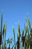 Cattails with Full Moon Royalty Free Stock Photography
