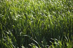 Cattails and grasses. Field of tall grasses and cattails stock photography