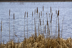Cattails in Great Meadows National Wildlife Refuge, Concord, Mas Stock Images