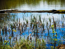 Cattails. Growing in a small pond royalty free stock image