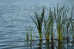 Cattails in het meer stock fotografie