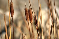 Cattails. A horizontal picture of brown cattails Royalty Free Stock Image