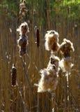 Cattails i de naturliga våtmarkerna Arkivbilder