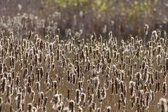 Cattails i en våtmark Arkivbild
