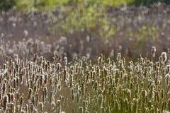 Cattails i en våtmark Royaltyfri Bild